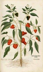 Aquarell von Pfefferpflanze